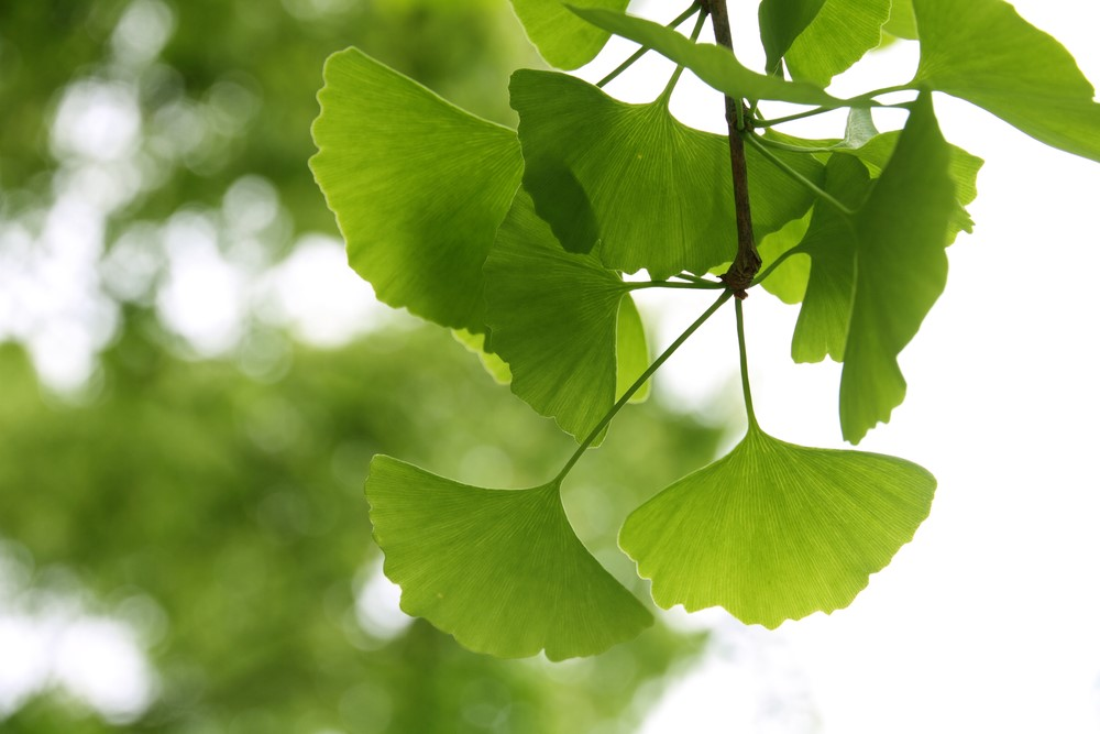 how to make ginkgo biloba tea