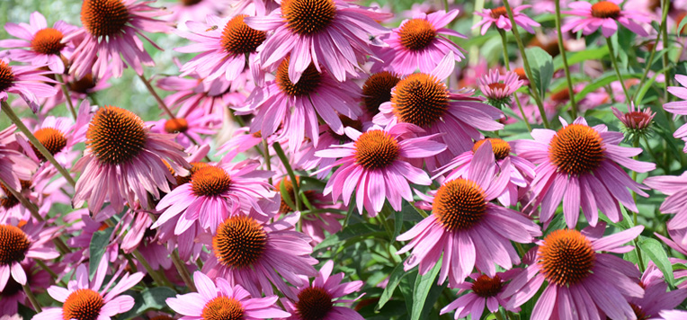 echinacea come rimedio naturale