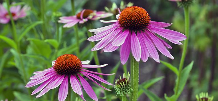 i rimedi naturali contro la febbre: echinacea